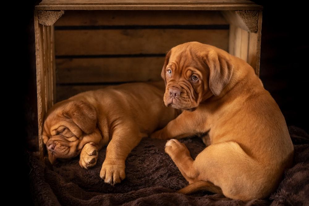 two brown short coat medium ddogs