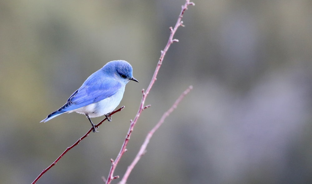 blue and white bird photography