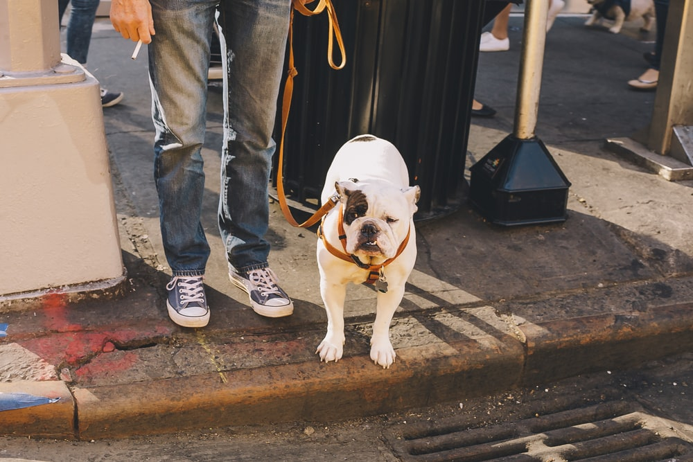 person holding leash of English bulldog