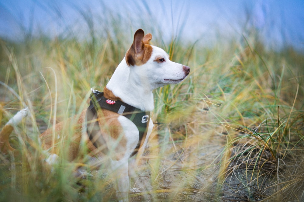 selective focus photography of white and brown dog sitting on green grass