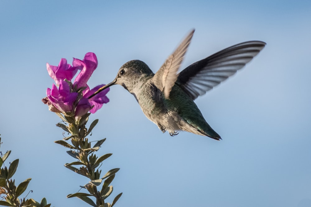hummingbird pecking on purple petaled flower