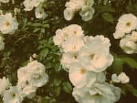 in the rosebush bushes stories