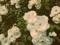white petaled flowere