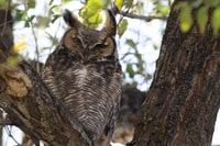 There are a pair of owls that hang out near the Visitor Center, this one was trying to stay out of the wind.