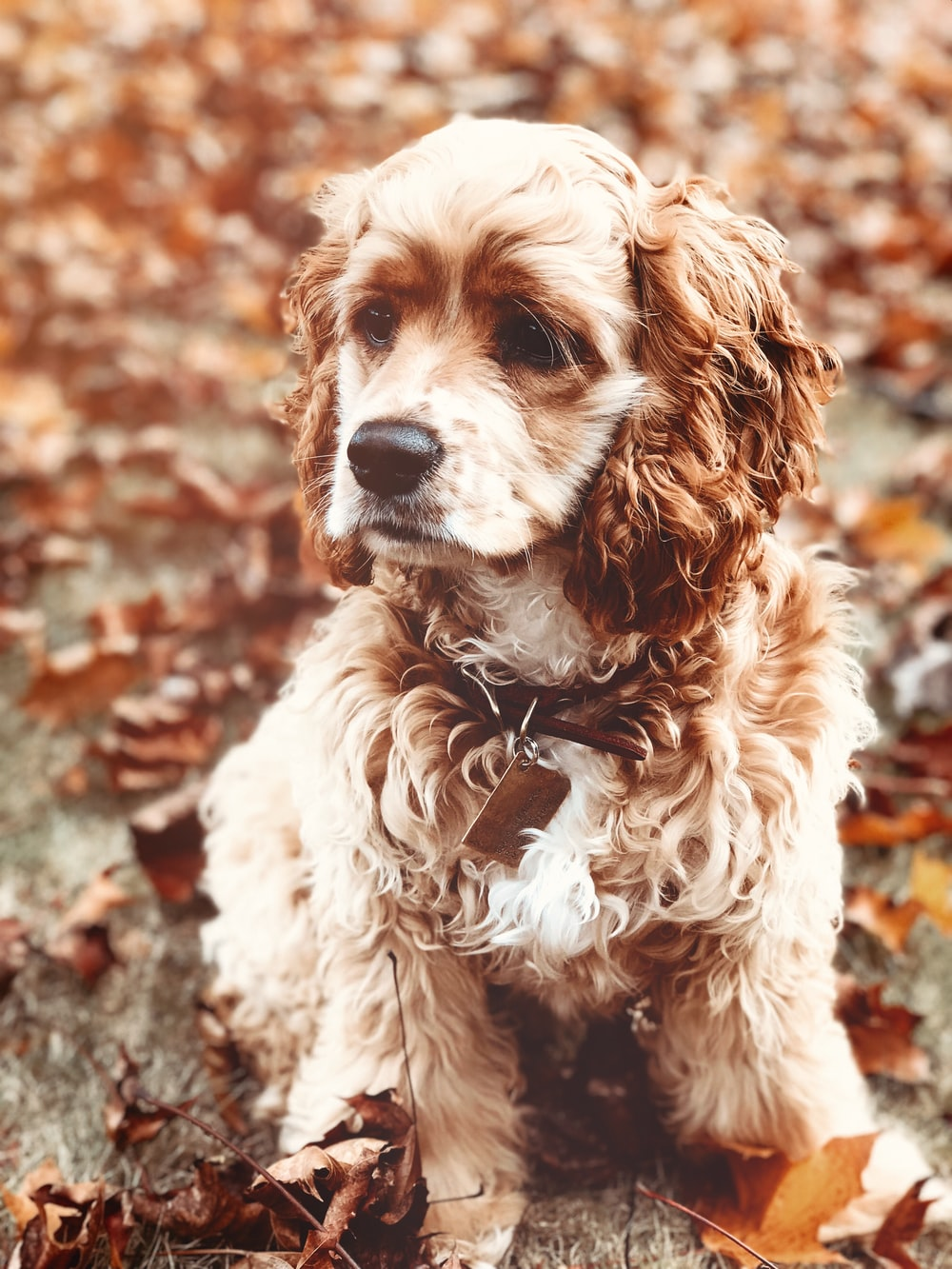 selective focus photography of brown curly coated dog