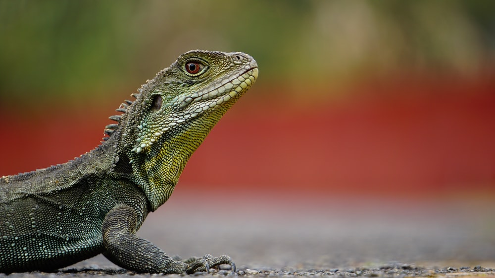 macro photography of green iguana on brown surface