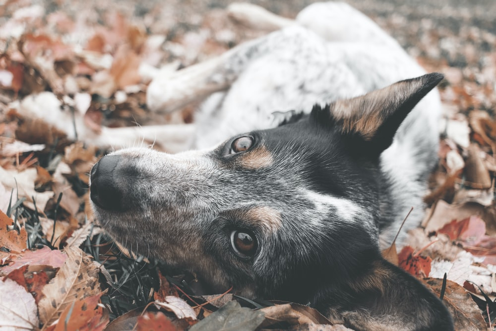 short coated black and white dog lying on dried leaves