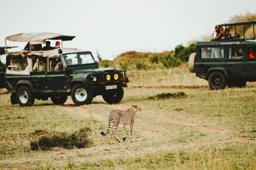 leopard walking through green vehicles