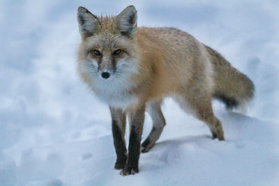 red fox standing on snow