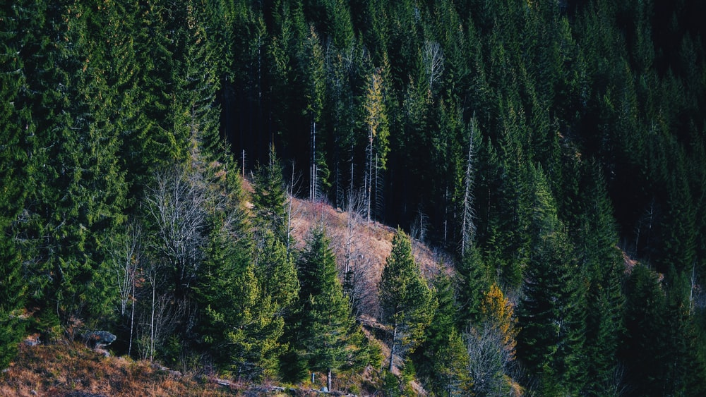 green pine tress