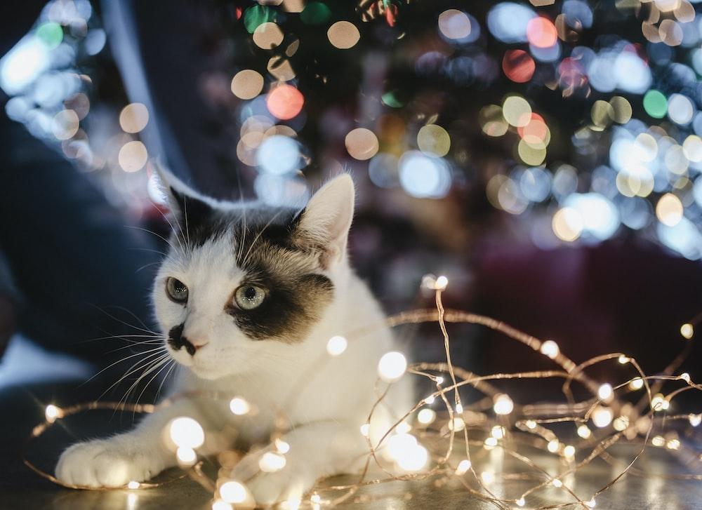 black and white cat lyes beside lighted string light
