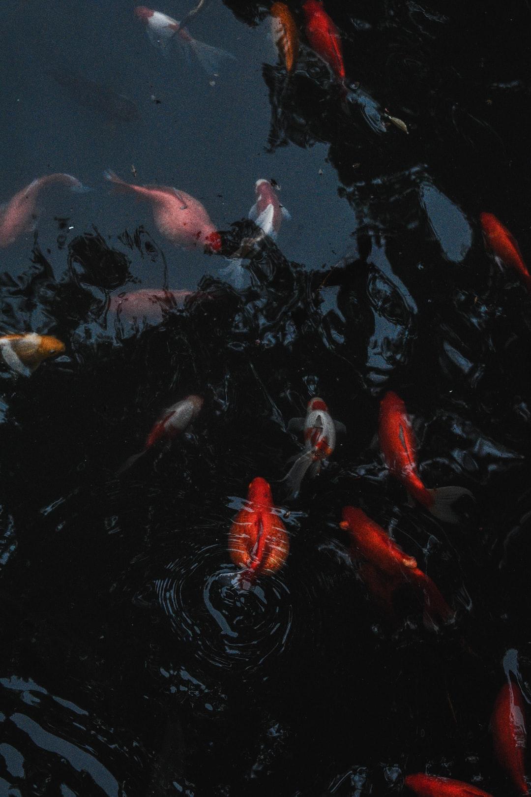 Ikan Koi Yang Paling Digemari Untuk Dipelihara