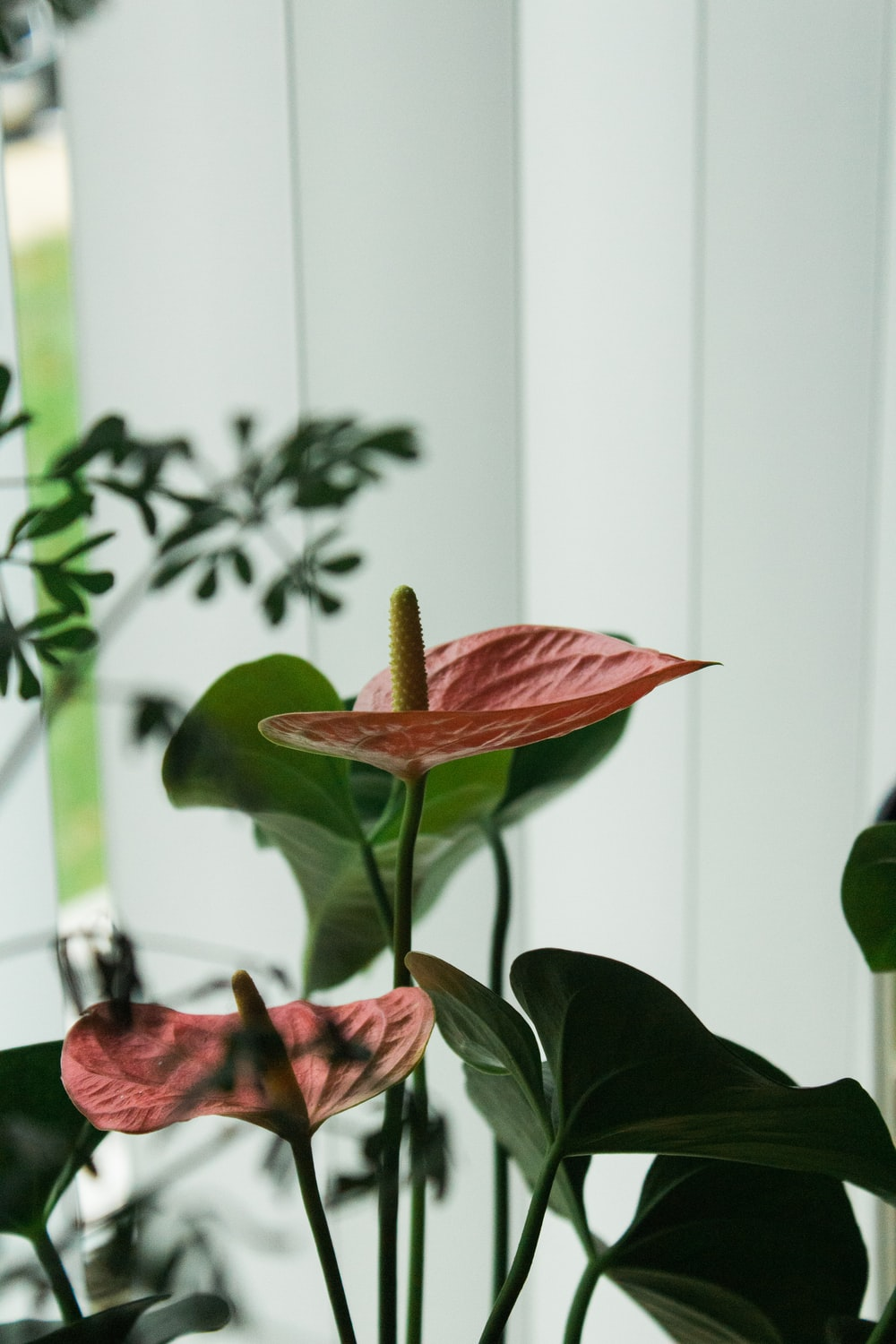 blooming red anthurium flower