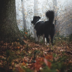 adult black and white Border collie on forest
