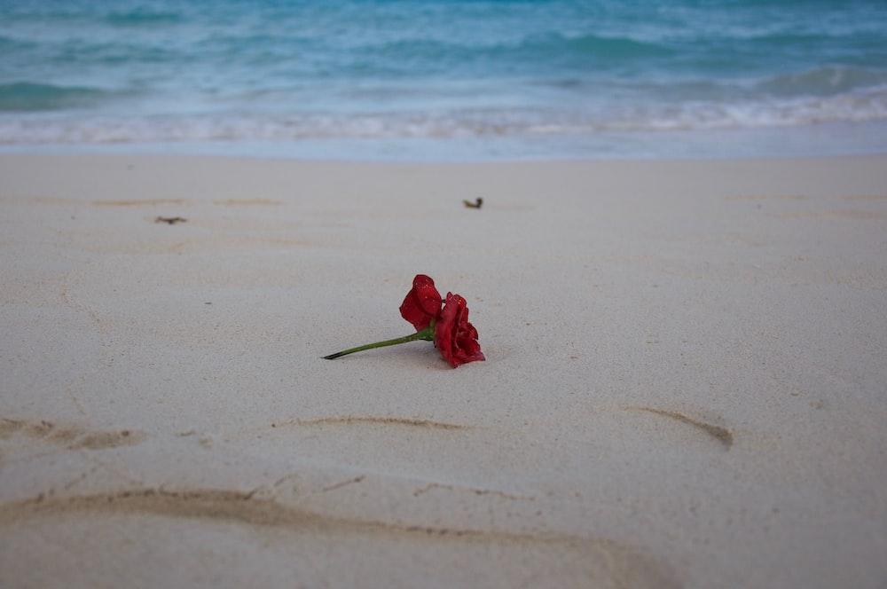 red-petaled flower on sand near shore