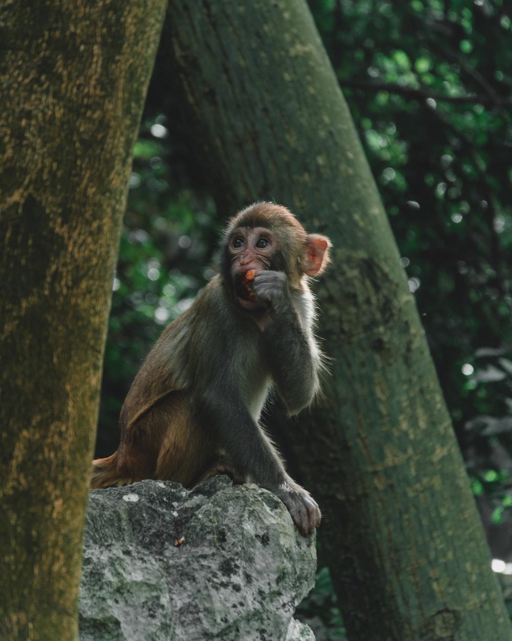 brown monkey eating fruit