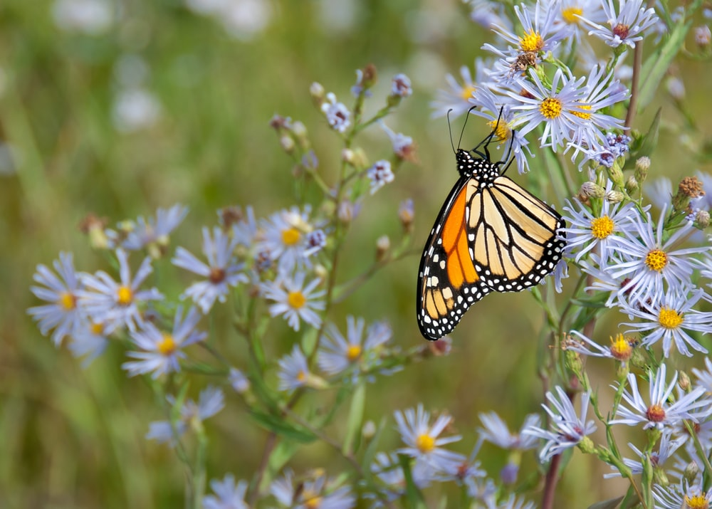 yellow butterfly perching on white flower