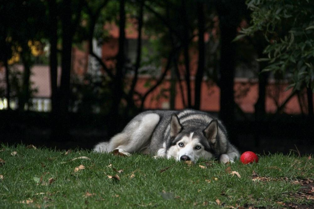 shallow focus photo of adult Siberian husky lying on grass