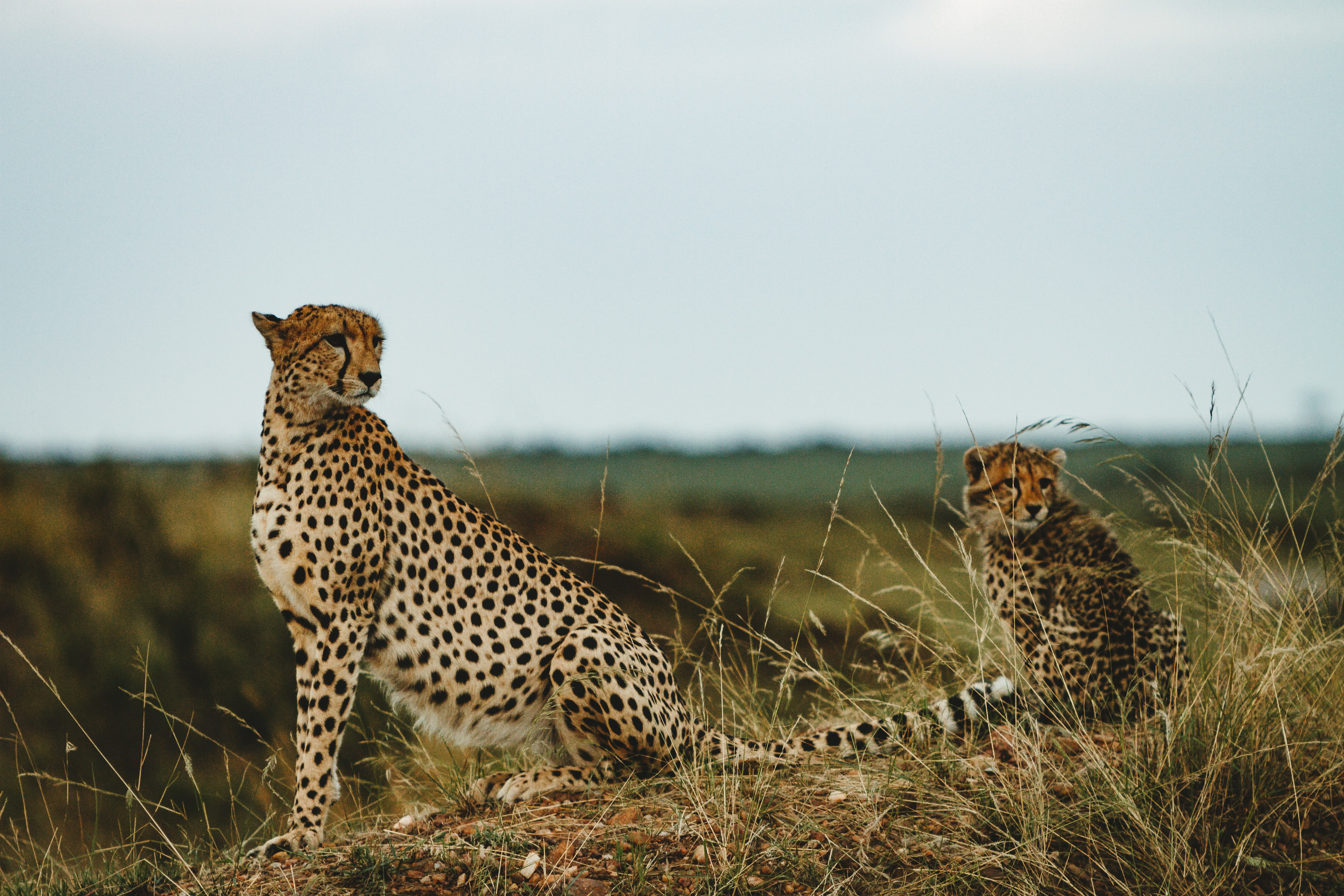 Cheetah with cub on grass field