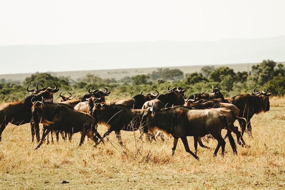 herd of animal