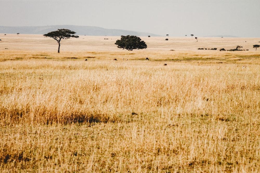 dried grass under blue sky