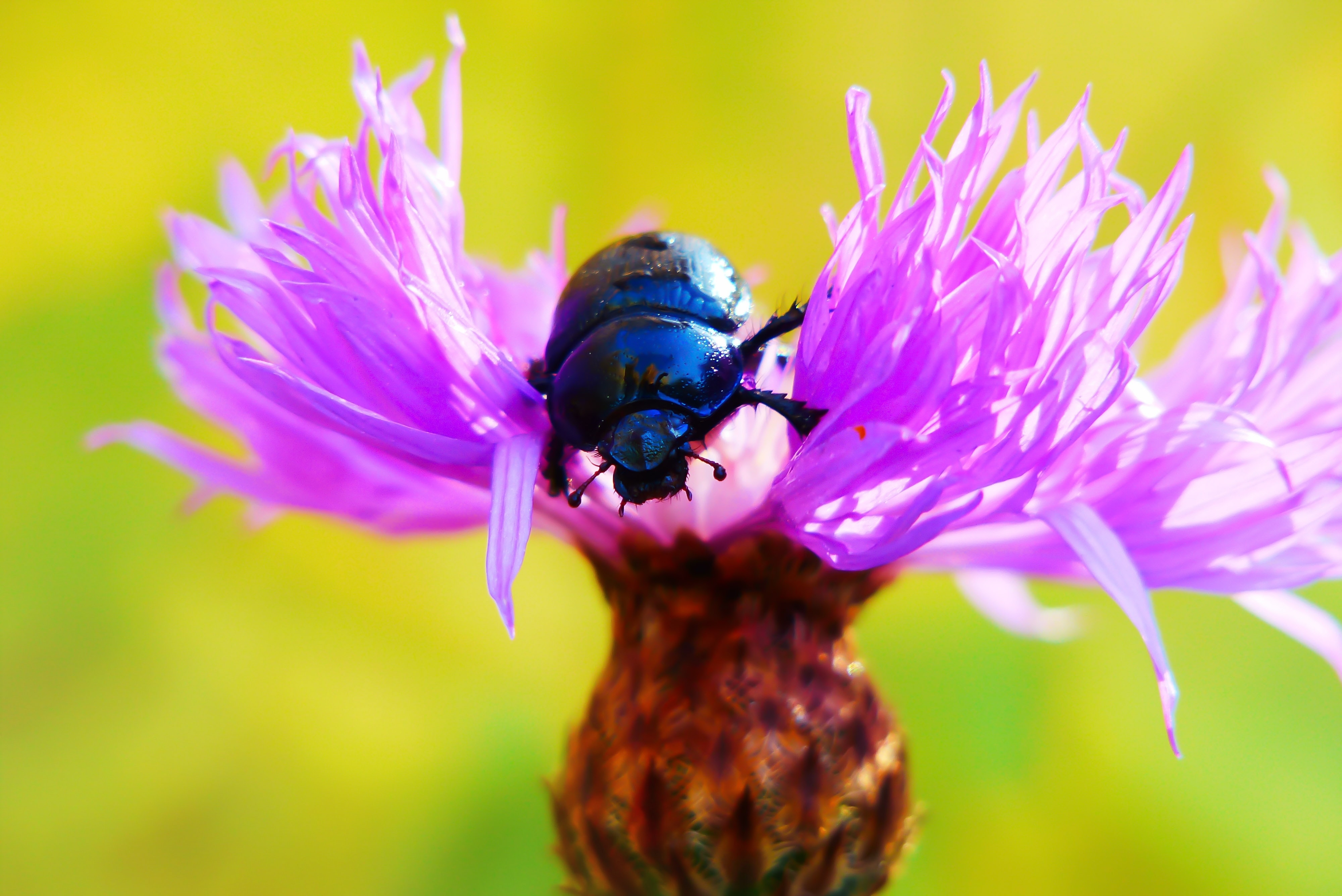 selective focus photo of black beetle on pink cluster flower during daytime