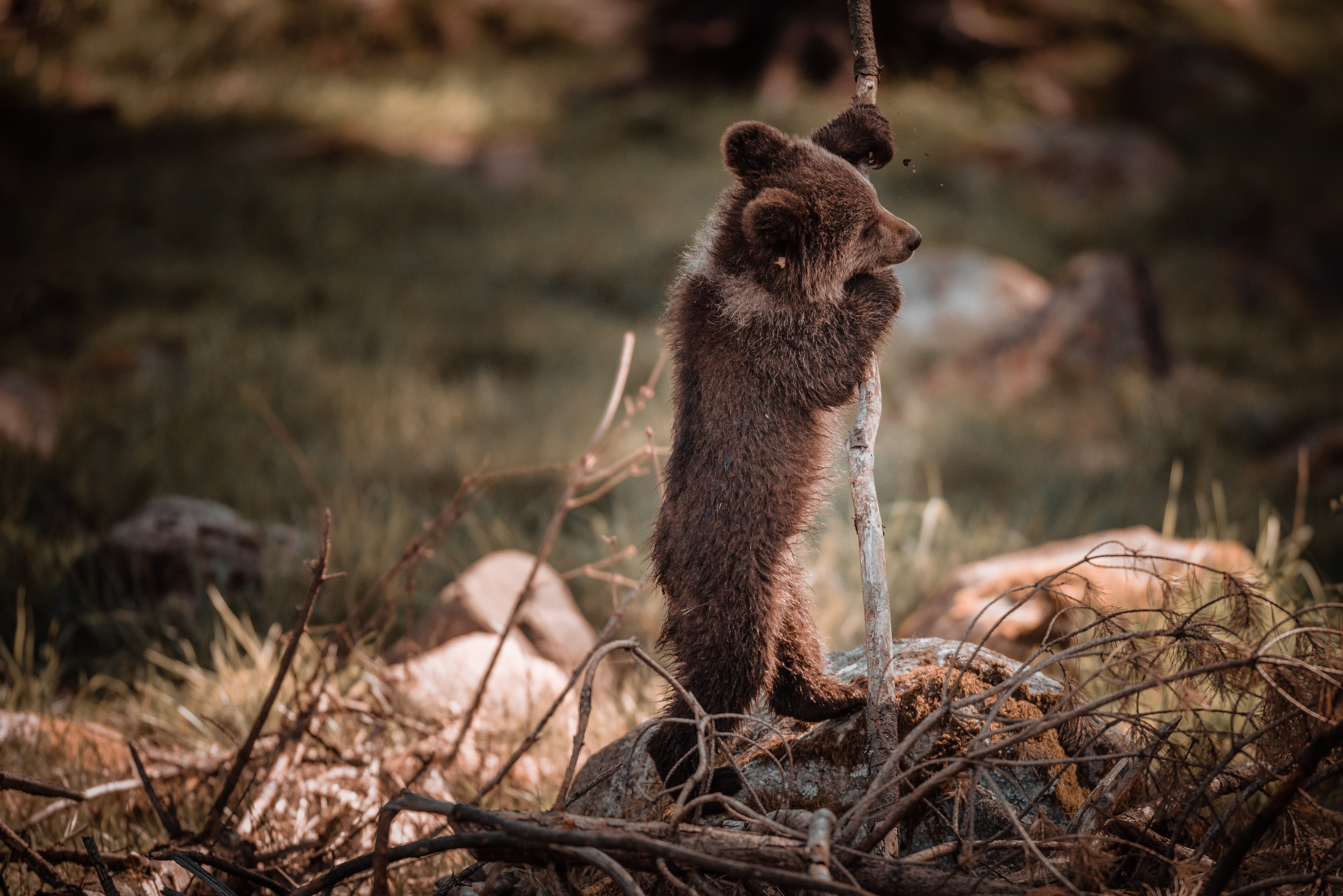 grizzly bear cub stand beside stick