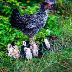 gray and white chicken with chicks on green grass