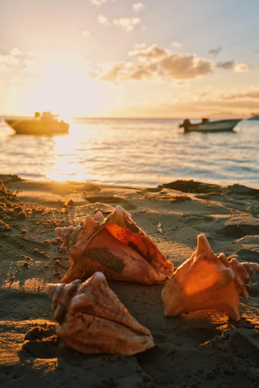 three pink shells on seashore during sunset