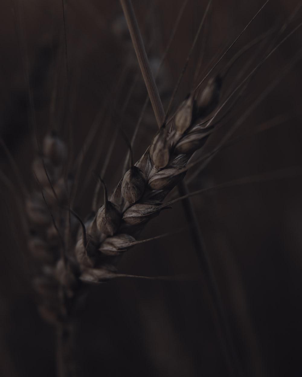 brown wheat
