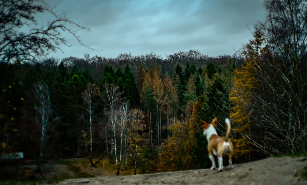 short-coated brown and white dog standing on high ground while facing on trees