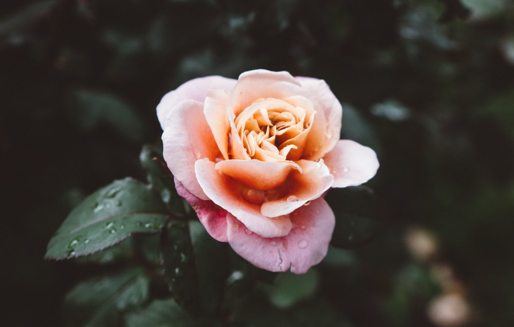 pink rose in selective focus photography