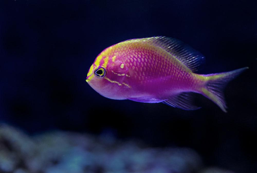 purple fish in closeup photography