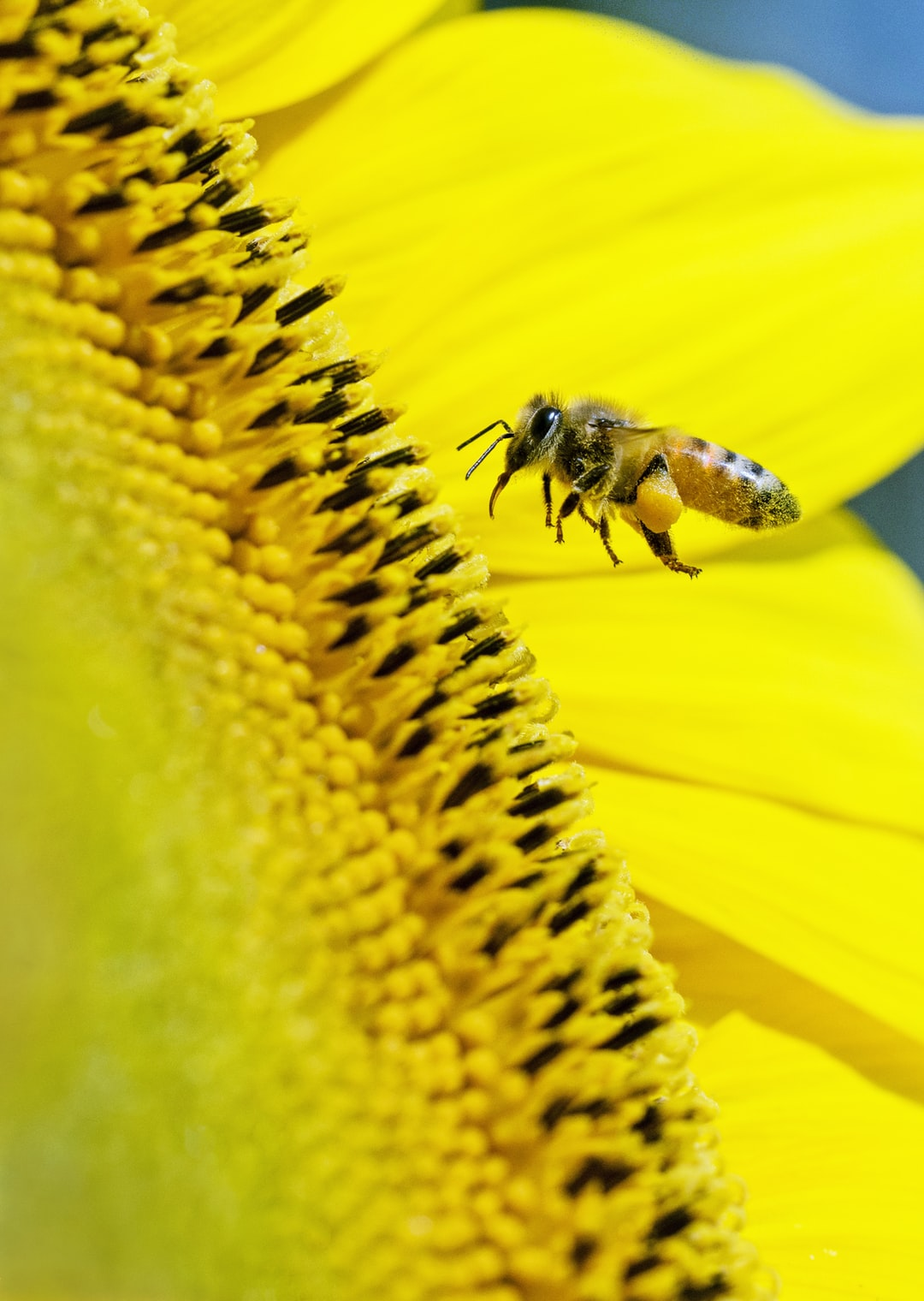 This bee visiting a sunflower can't wait to get at the sweet nectar. I was lucky to get this photo where you can clearly see the bee's tongue.