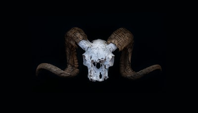 big horn sheep skull on black