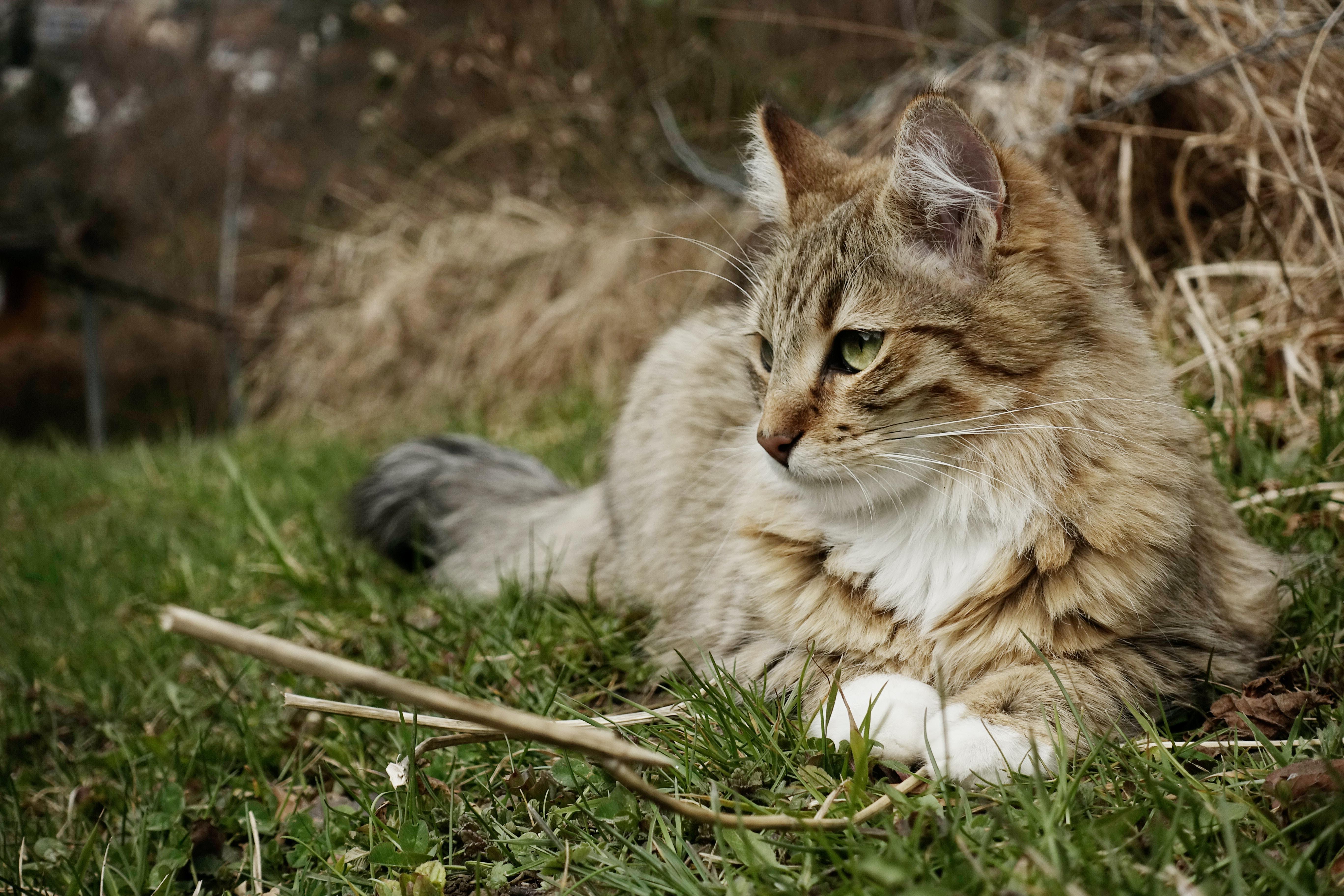 long-coated gray cat