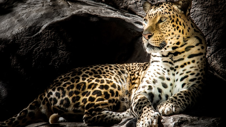 brown leopard on focus photography