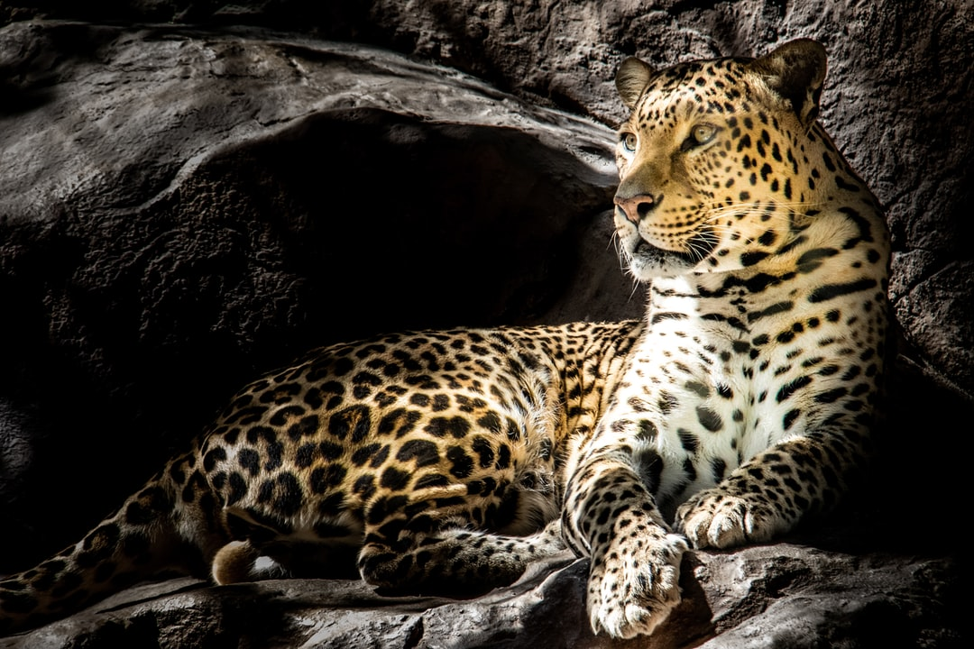 I was at a wildlife conservation park when I came across this beautiful leopard.  The sun lit up its face and it looked so regal and magnificent.  The markings and colouring on its body help to mask it when it is in its natural habitat.