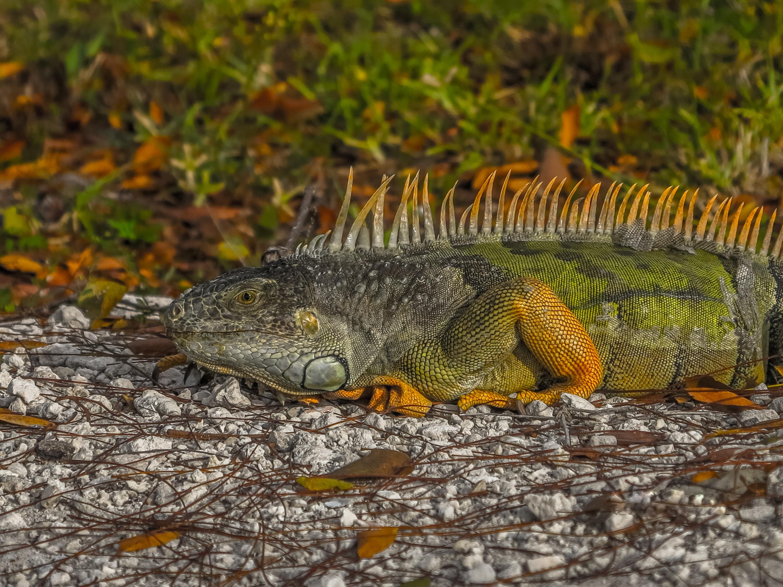 wildlife photography of green iguana