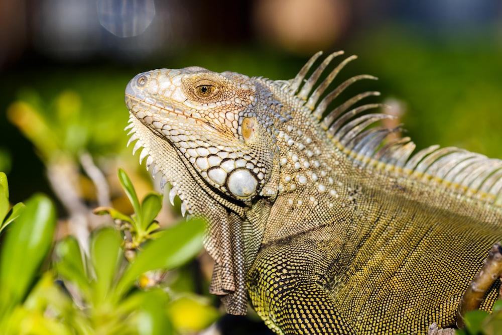 iguana iguana iguan