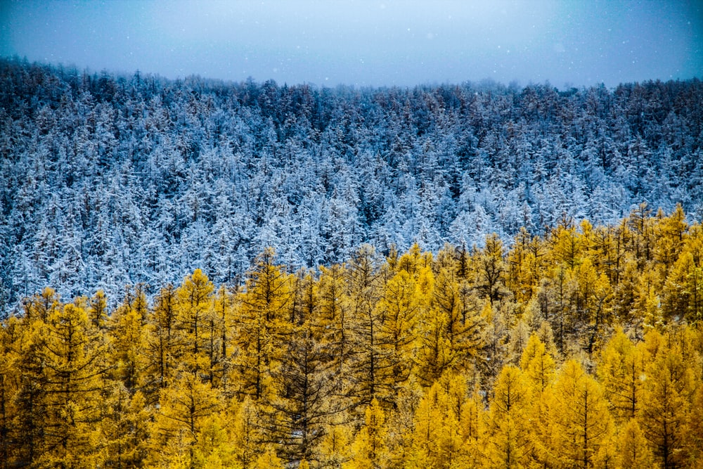 aerial photography of blue and yellow trees