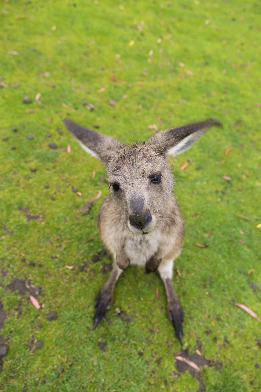 brown kangaroo joey on grass