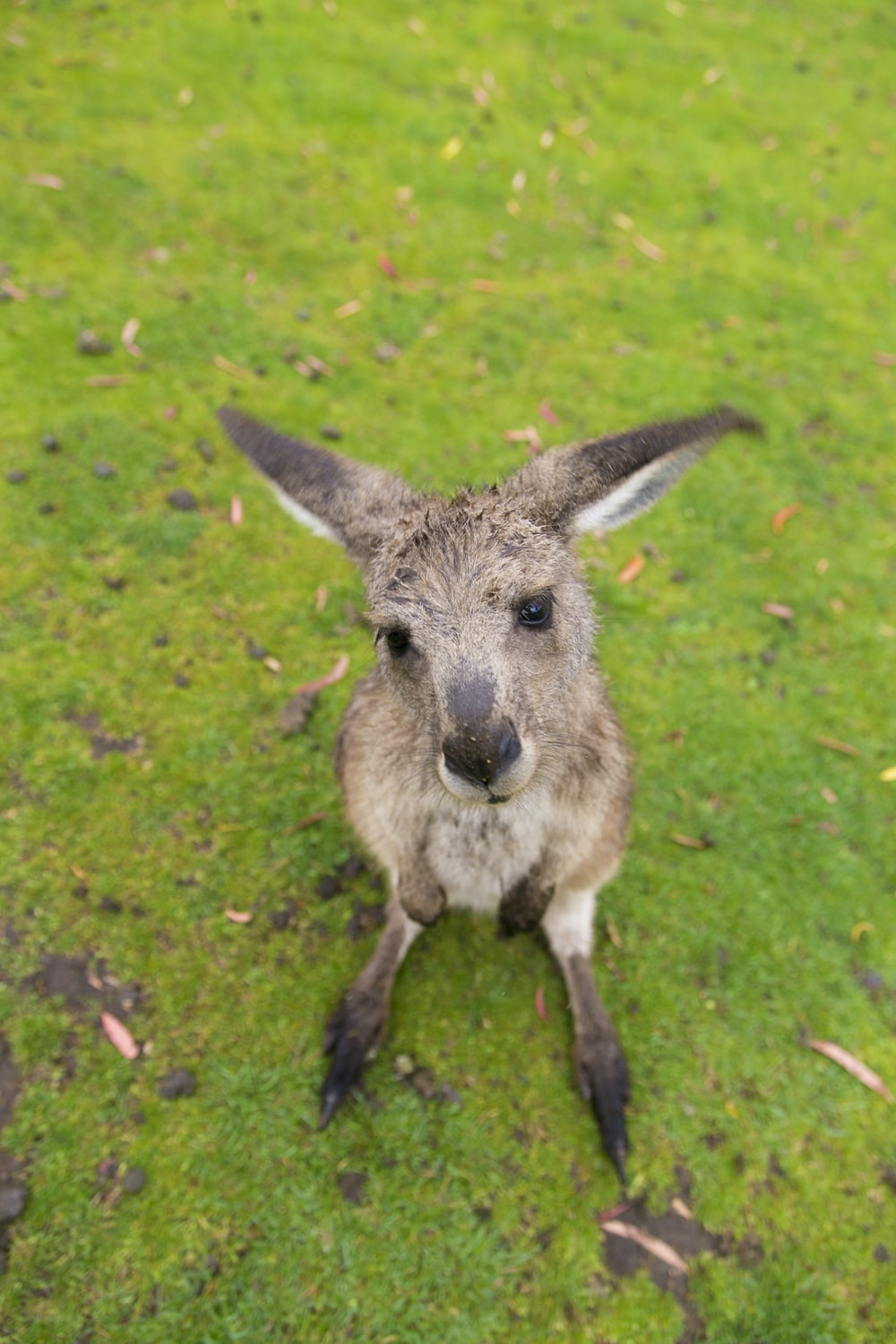 brown kangaroo joey on grass