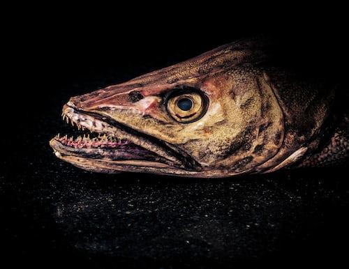 pike fish