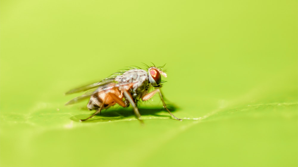 brown fruit fly perching on green leaf