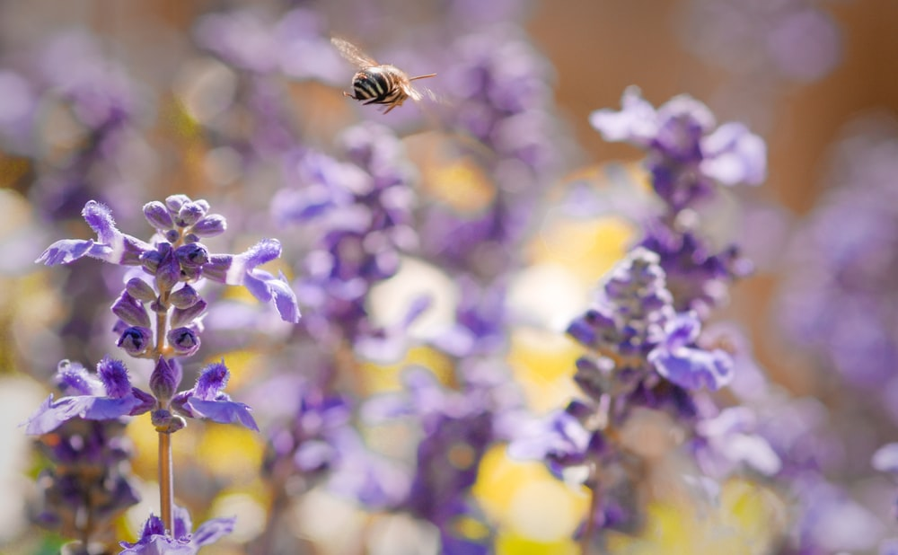 bee hovering at lavender field during daytime