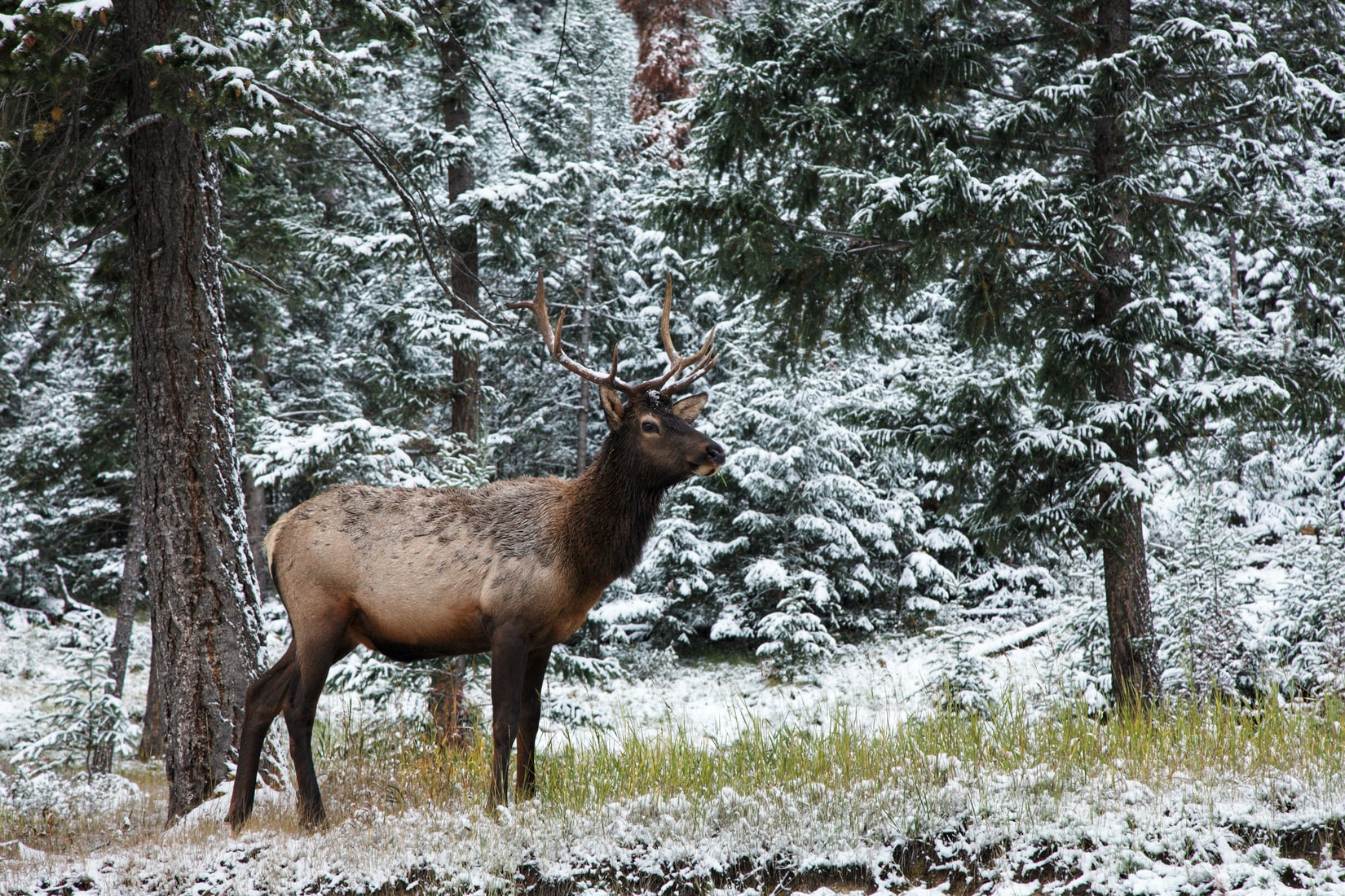 Winter Feeding of Elk In The Greater Yellowstone Ecosystem And Its Effects on Disease Dynamics
