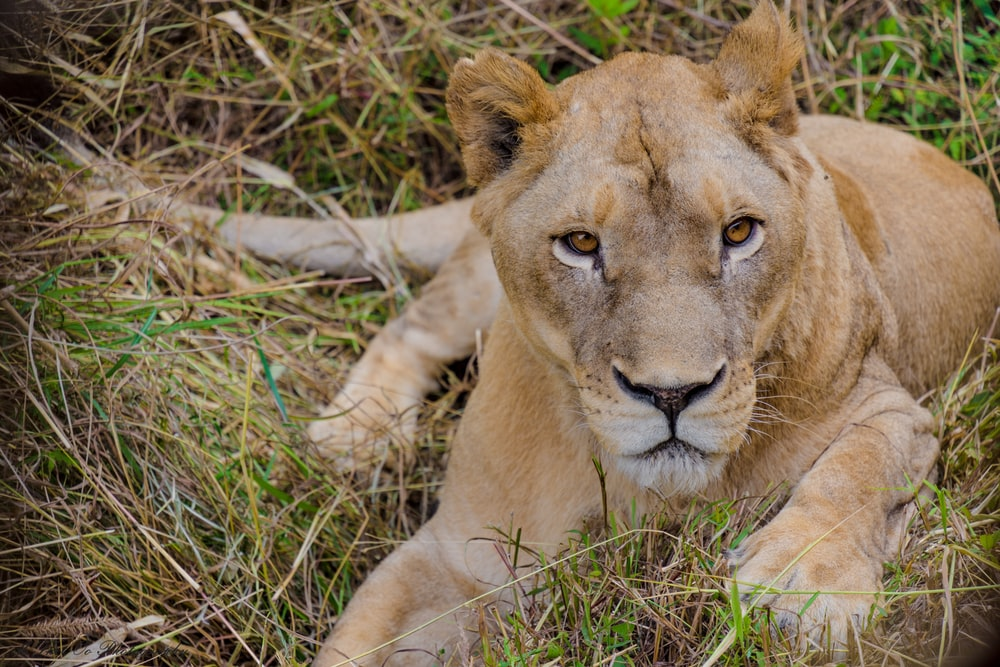 lion lying on green grass in close-up photography