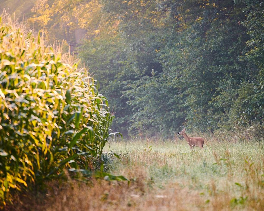 deer standing beside corn field near trees