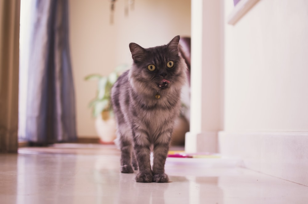 brown and black cat standing inside room